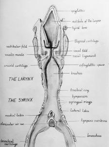 Siren anatomy 6