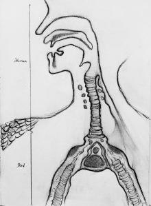 Siren anatomy 5